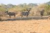 Kudu_Kaingo_Zambia__0008