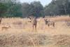 Kudu_Kaingo_Zambia0003