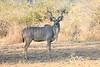 Kudu_Kaingo_Zambia__0002