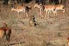 Impala_Kaingo_Zambia__0012