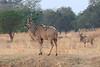 Kudu_Kaingo_Zambia0001