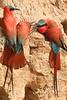 Carmine_Beeater_Kaingo_Zambia0009