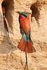 Carmine_Beeater_Kaingo_Zambia0002