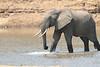 Elephant_Mwamba_Kaingo_Zambia0013