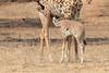 Giraffe_with_Baby_Kaingo_Zambia0003