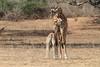 Giraffe_with_Baby_Kaingo_Zambia0013