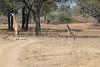 Giraffe_with_Baby_Kaingo_Zambia0016