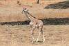 Giraffe_with_Baby_Kaingo_Zambia0002