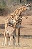 Giraffe_with_Baby_Kaingo_Zambia0006