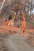Giraffe_Traffic_Kaingo_Zambia0001