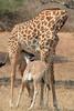 Giraffe_with_Baby_Kaingo_Zambia0007