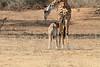 Giraffe_with_Baby_Kaingo_Zambia0012