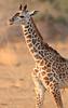 Giraffe_Young_Kaingo_Zambia0001