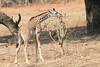 Giraffe_with_Baby_Kaingo_Zambia0001