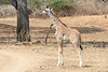 Giraffe_with_Baby_Kaingo_Zambia0017