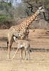 Giraffe_with_Baby_Kaingo_Zambia0004