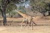 Giraffe_with_Baby_Kaingo_Zambia0014