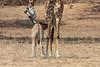 Giraffe_with_Baby_Kaingo_Zambia0011