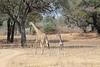 Giraffe_with_Baby_Kaingo_Zambia0015