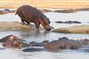 Hippo_Kaingo_Zambia0010