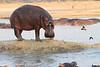 Hippo_Kaingo_Zambia0009