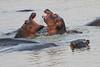 Hippo_Kaingo_Zambia0025