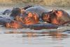 Hippo_Kaingo_Zambia0007