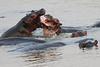 Hippo_Kaingo_Zambia0023