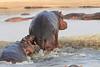 Hippo_Kaingo_Zambia0008