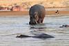 Hippo_Kaingo_Zambia0012