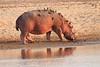 Hippo_Kaingo_Zambia0015