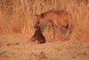 Hyena_Kaingo_Zambia__0486