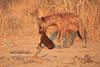 Hyena_Kaingo_Zambia__0498