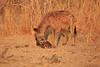 Hyena_Kaingo_Zambia__0528