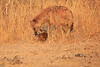Hyena_Kaingo_Zambia__0512