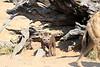 Hyena_Kaingo_Zambia__0448