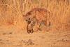Hyena_Kaingo_Zambia__0522