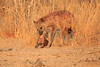 Hyena_Kaingo_Zambia__0518