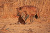 Hyena_Kaingo_Zambia__0492
