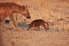 Hyena_Kaingo_Zambia__0478
