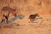 Hyena_Kaingo_Zambia__0508