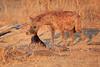 Hyena_Kaingo_Zambia__0506