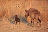 Hyena_Kaingo_Zambia__0480