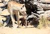 Hyena_Kaingo_Zambia__0440