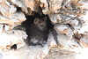 Hyena_Kaingo_Zambia__0468
