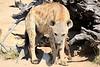 Hyena_Kaingo_Zambia__0444
