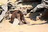 Hyena_Kaingo_Zambia__0460