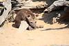 Hyena_Kaingo_Zambia__0458