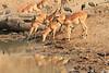 Impala_Mwamba_Zambia0004