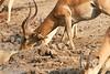 Impala_Male_Mwamba_Zambia0001
